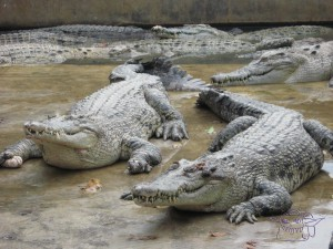 Indonesian crocodiles, sleeping bag liner, budget