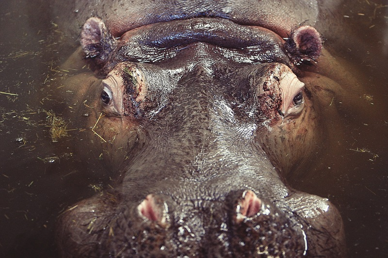 hippo, travel, pregnant